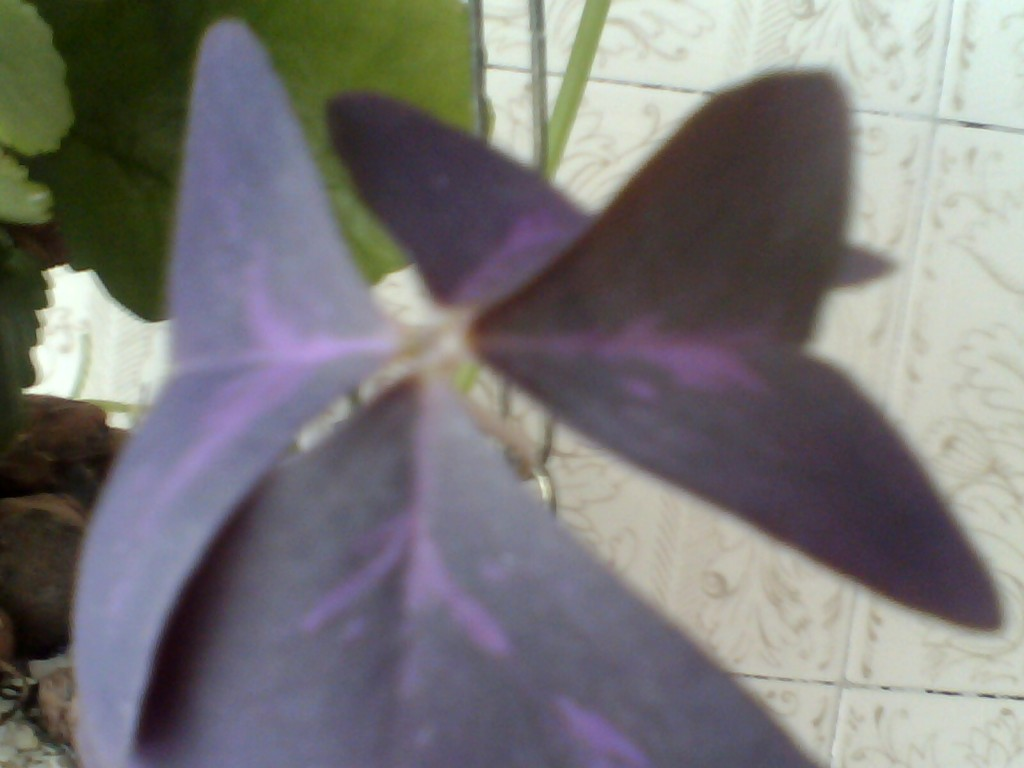 Trevo De 3/4 Folhas(3)